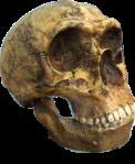 Neanderthal_skull2